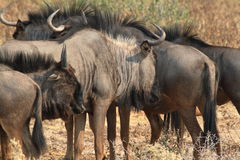 Wildebeest in the savannah of the Etosha Park in Namibia Stock Photo
