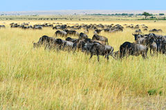 Wildebeest in the savannah stock photo