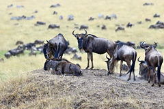 Wildebeest in the savannah Royalty Free Stock Photos