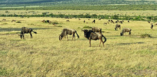 Wildebeest in the savannah Stock Photography