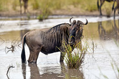 Wildebeest in the savannah Royalty Free Stock Photography