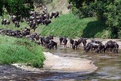 Wildebeest in the savannah Stock Photo