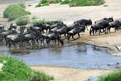 Wildebeest in the savannah Stock Image