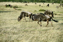 Wildebeest in the savannah Royalty Free Stock Image