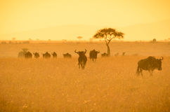 Wildebeest in the savannah at sunrise Stock Image