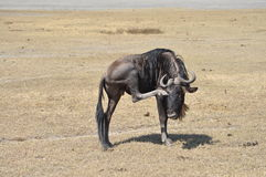 Wildebeest scratching its eye Royalty Free Stock Photos