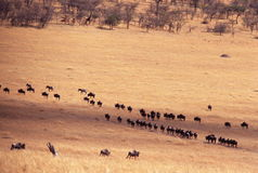 Wildebeest on the Serengeti. Wildebeest migrating in a herd across the Serengeti in Tanzania, near Klein's Camp, Africa Royalty Free Stock Photography