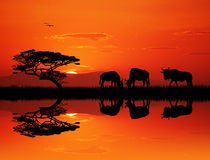 Wildebeest silhouette at sunset Stock Photos
