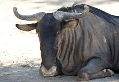 Wildebeest sitting Royalty Free Stock Photography