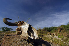 Wildebeest skull on a background of sky and the American savanna Royalty Free Stock Image
