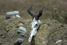 Wildebeest skull Stock Image