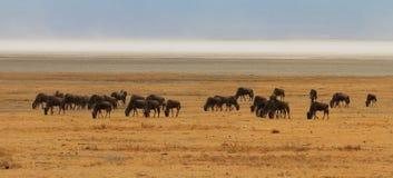 Wildebeest som betar på savannahen Royaltyfria Bilder