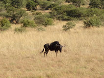 Wildebeest in South Africa Stock Photos