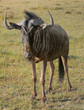 Wildebeest in South Africa Stock Photo