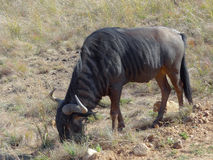Wildebeest in South Africa Stock Image