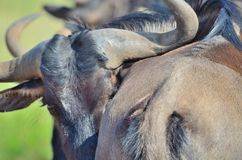 Wildebeest in a south african reserve. Wildebeest relaxing in a south african game reserve in africa Royalty Free Stock Photo