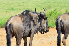 Wildebeest in a south african reserve. Wildebeest relaxing in a south african game reserve in africa Stock Photos