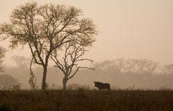 Wildebeest in the South African Sunrise. A lone wildebeest in the mist of a South Africa Dawn (Sabi Sand game reserve royalty free stock images