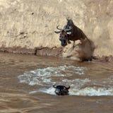 Wildebeest springt in de rivier van een hoge klip Stock Foto's