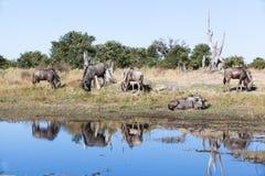 Wildebeest stado Zdjęcie Stock