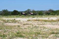 Wildebeest stado zdjęcia royalty free