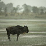 Wildebeest standing in the rain Stock Images
