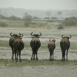 Wildebeest standing in the rain Stock Photo
