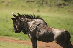 Wildebeest Stretching on Dusty Path Stock Photo