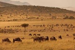 Wildebeest sulla savanna Fotografia Stock Libera da Diritti