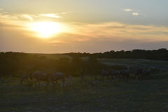 Wildebeest at Sunset Stock Photography