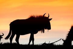 Wildebeest Sunset Silhouette Royalty Free Stock Images