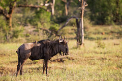 Wildebeest at sunset in South Africa Stock Image