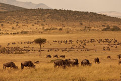 Wildebeest sur la savane Photo libre de droits