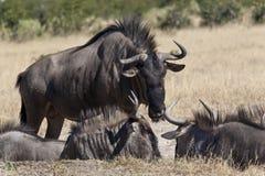 Wildebeest (taurinus de Connochaetes) image stock