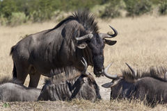 Wildebeest (taurinus do Connochaetes) imagem de stock