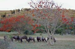 Wildebeest and tree Stock Photo