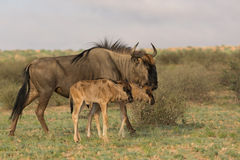 Wildebeest with two calfs Stock Images