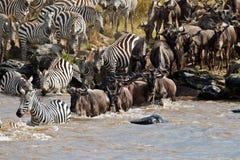 Wildebeest und Zebras, die den Fluss Mara kreuzen Stockfotografie