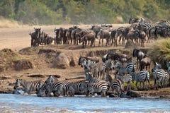 Wildebeest und Zebras, die den Fluss Mara kreuzen Lizenzfreies Stockfoto