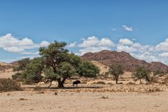 Wildebeest under shade in the desert of Sossusvlei Namibia. Africa stock images