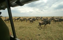 Wildebeest from vehicle Royalty Free Stock Photos