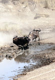 Wildebeest in vertical Royalty Free Stock Photo