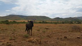 Wildebeest w Afrykańskim bushveld obraz royalty free