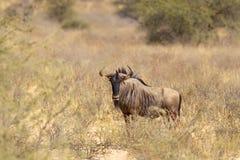 Wildebeest w Afrykańskim krzaku Obraz Royalty Free