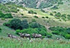 Wildebeest w dzikim Obrazy Royalty Free