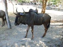 Wildebeest w Khao Kaeo Otwartym zoo Fotografia Stock