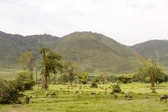 Wildebeest w krajobrazie Ngorongoro krater, Tanzania Obrazy Royalty Free