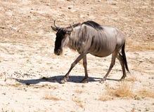 Wildebeest w parku Zdjęcia Stock