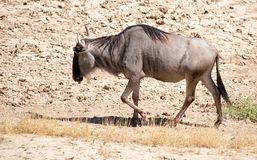 Wildebeest w parku Obraz Royalty Free