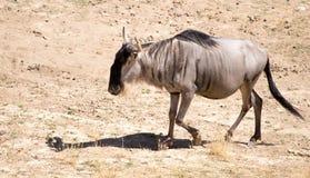 Wildebeest w parku Zdjęcie Royalty Free